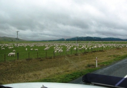 VicH Sheep Taupo 3 427x296